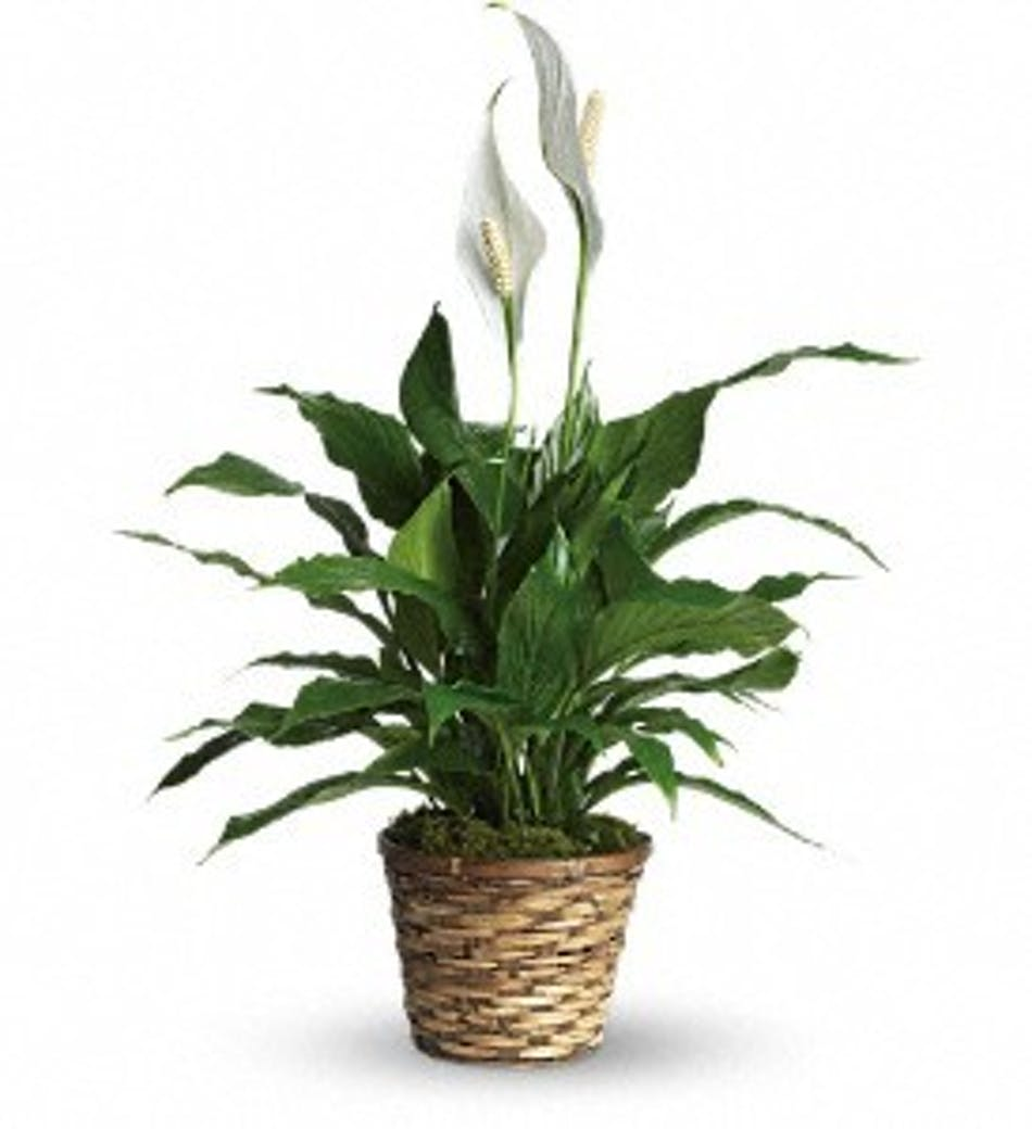 Plant Blooming Peace Lily Danker Florist Albany Florist Albany Ny